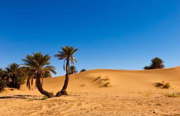 ørkenræs